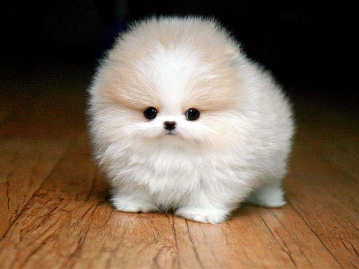 Small and cute pomeranian dog as a pet thecheapjerseys Image collections
