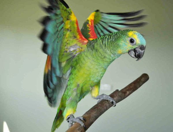 Blue Fronted Amazon Parrots Archives Petscroll