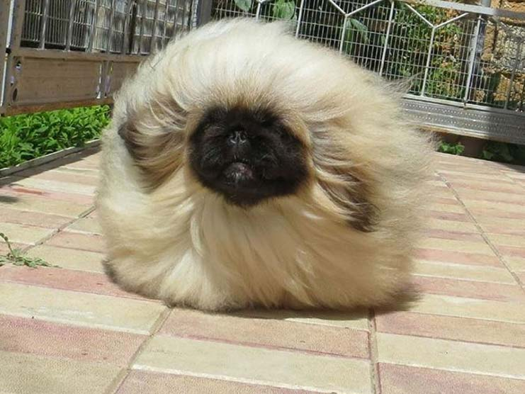 pekingese toy dog for every pet lovers